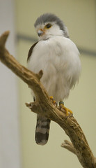 """IMG_8089: African Pygmy Falcon • <a style=""""font-size:0.8em;"""" href=""""http://www.flickr.com/photos/54494252@N00/73824116/"""" target=""""_blank"""">View on Flickr</a>"""