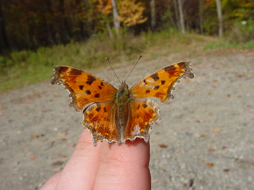 Eastern Comma in hand