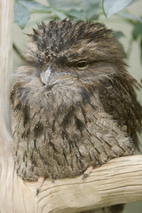 """IMG_8136: Tawny Frogmouth • <a style=""""font-size:0.8em;"""" href=""""http://www.flickr.com/photos/54494252@N00/74128646/"""" target=""""_blank"""">View on Flickr</a>"""