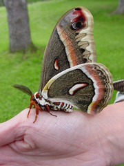 Cecropia Moth by Tom LeBlanc