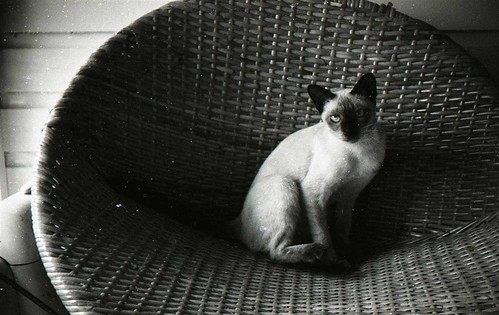Siamese on the wicker chair, 1957