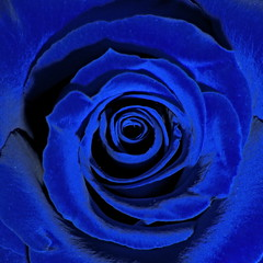 Blue roses...
