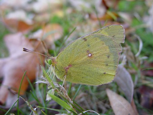 Fall Orange Sulphur