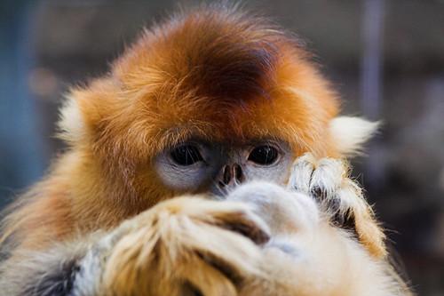 金絲猴 Golden Snub-nosed Monkey