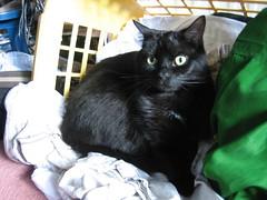 Washing Basket Cat