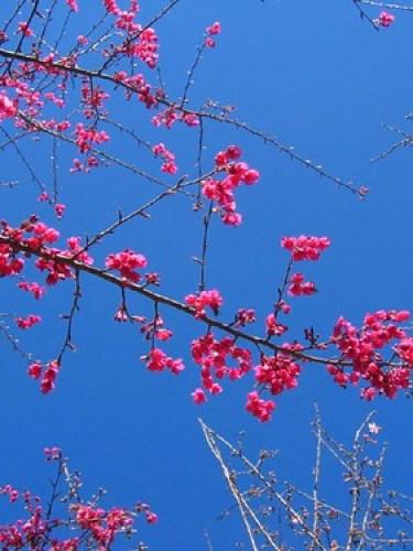 20060201_1241_武陵農場-櫻