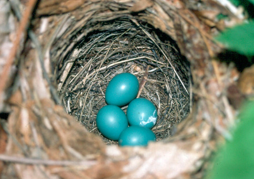 Veery eggs
