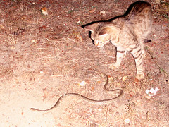 Ikaria 194 (isl_gr (Mnesterophonia)) Tags: cat felicia snake ikaria icaria  aegean replacement serpent viper