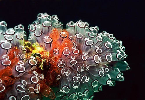 Diving Nekton 2003, Tunicates, Closeup portrait 16