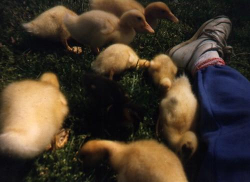 1980s - 0268 ducks