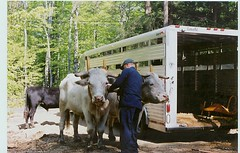 Oxen Team: getting yoked and prepped for work.