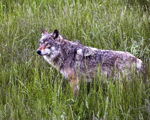 Grey Wolf at Dusk