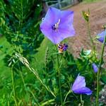 """A bellflower. #summer #blue #sweden #visitsweden #iphone5s #sommar #blåklocka #blomma #landet #mylife <a style=""""margin-left:10px; font-size:0.8em;"""" href=""""http://www.flickr.com/photos/131645797@N05/19399009700/"""" target=""""_blank"""">@flickr</a>"""