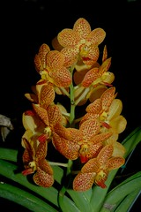 Orchid inflorescence