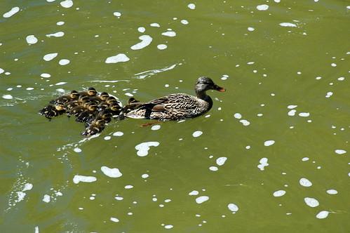 Mama duck leading ducklings up White Rock Lake creek