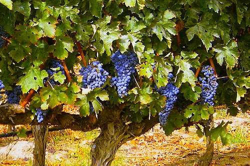 Experience the beauty of the harvest in Livermore Valley.