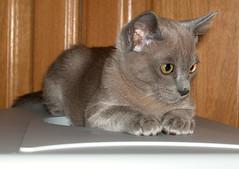 Inky the Burmese Blue Kitten