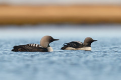 Pacific Loon | stillahavslom | Gavia pacifica