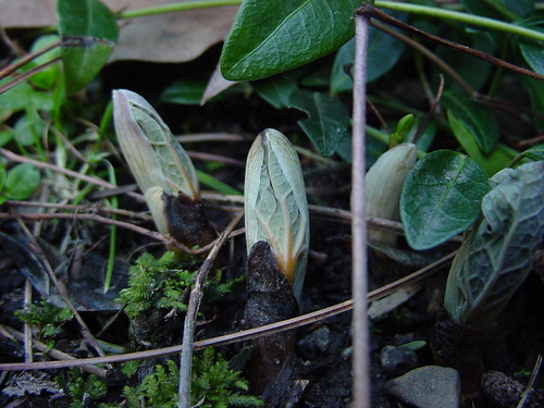 Bloodroot just out of the ground