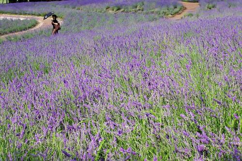 lavender flower #1