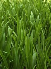 Green Blades