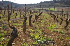 Givry vineyards 3