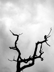 """Dead Tree"" by St Stev via flickr.com"