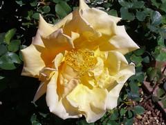 big ass rose