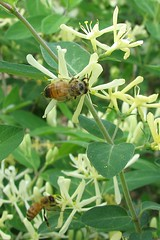 Bees on Honeysuckle by Jenn Orth