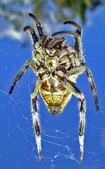 Garden Orb Spider macro against blue sky