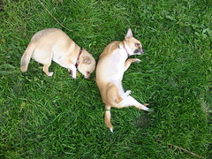 dogs rolling in the grass