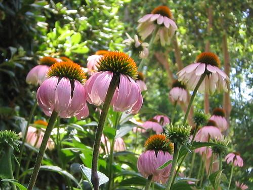 My little echinacea grove