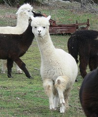 Happy Alpaca Dance by Walnut Creek Alpacas