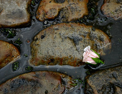 Rose in the mire