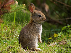 Baby English wild rabbit