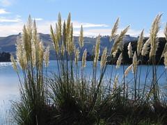 Toetoe grass at Otago Bay