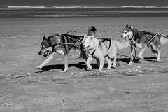 Sled Dogs (Koksijde)