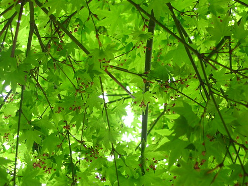 Under the Japanese maple in spring