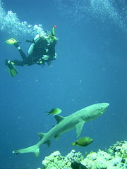 Reef shark and diver