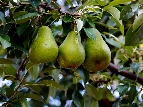 Three Pears In Tree