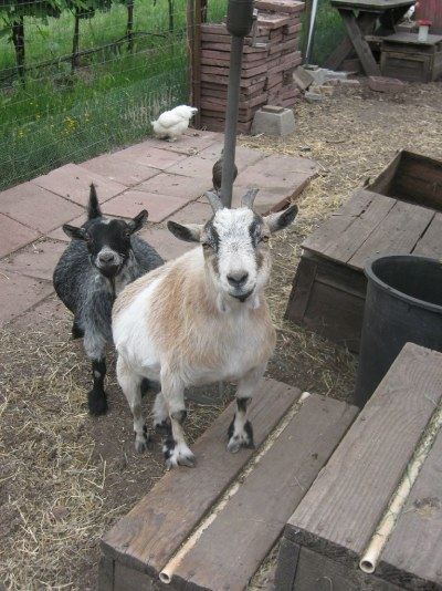 Quit Lookin' At Me, Goat