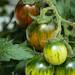 Tomatoes 'Tumbling tiger'