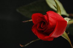 The Language Of Roses .. !!
