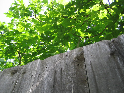 Fig tree over the fence