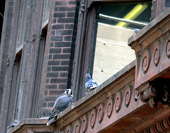 Idiot Pigeon!  Watch out!
