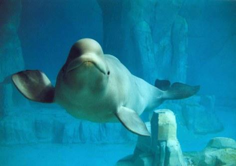Beluga a loceanogràfic - Photo : Jofre Ferrer