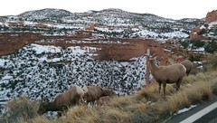 Bighorn sheep at Colorado National Monument, Colorado
