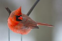 Cardinal - Full Size