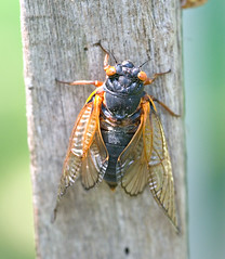"CRW_2594: Cicada on Side of Post • <a style=""font-size:0.8em;"" href=""http://www.flickr.com/photos/54494252@N00/9986617/"" target=""_blank"">View on Flickr</a>"