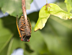 "CRW_2605: Cicada Hanging from Branch • <a style=""font-size:0.8em;"" href=""http://www.flickr.com/photos/54494252@N00/9986653/"" target=""_blank"">View on Flickr</a>"